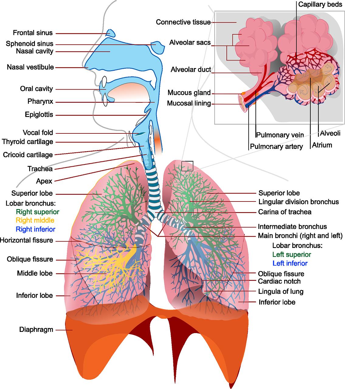 Pathologische Anatomie mit Lungenembolie