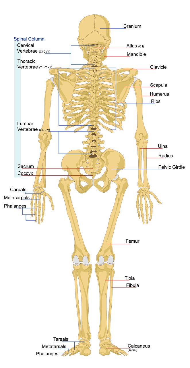 Der Bewegungsapparat: Skelett und Muskulatur | Heilpraktiker ...
