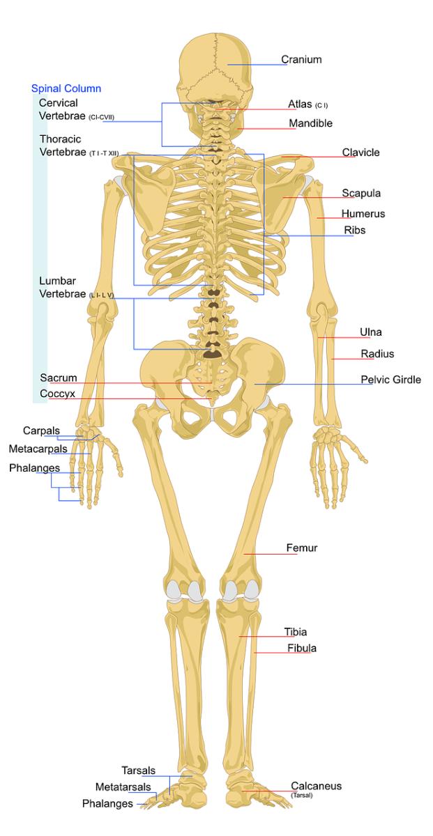 Der Bewegungsapparat: Skelett und Muskulatur   Heilpraktiker ...